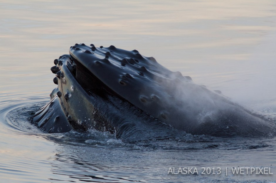 Susan Brown: This shot was taken on my first experience observing humpback whales feeding.