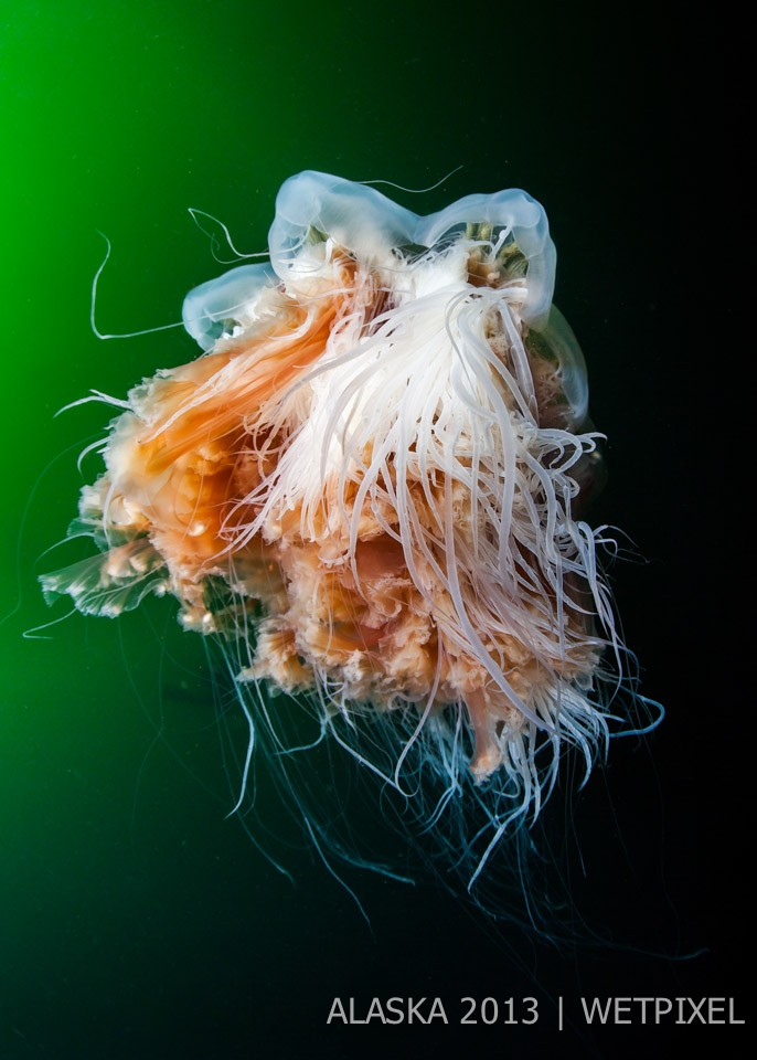 Terry Steeley: Magnificent Lions Mane Jellyfish.