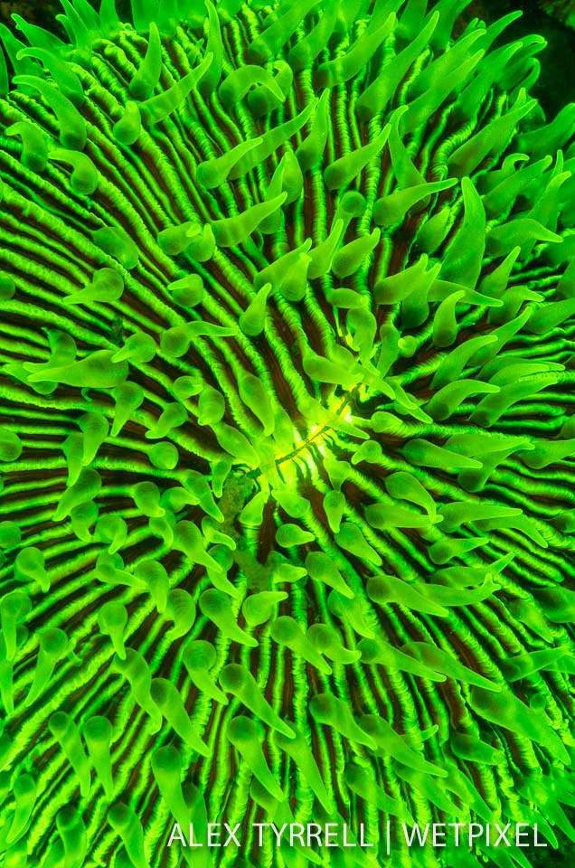 Boomerang coral (*Polyphyllia talpina*).