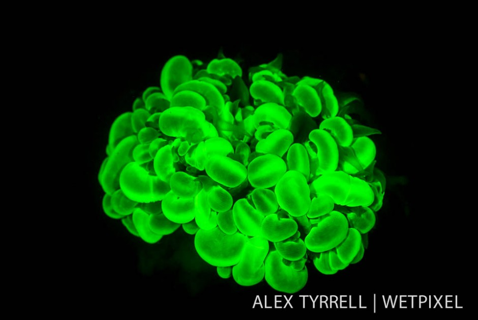 Bubble coral (*Physogyra lechtensteini*).