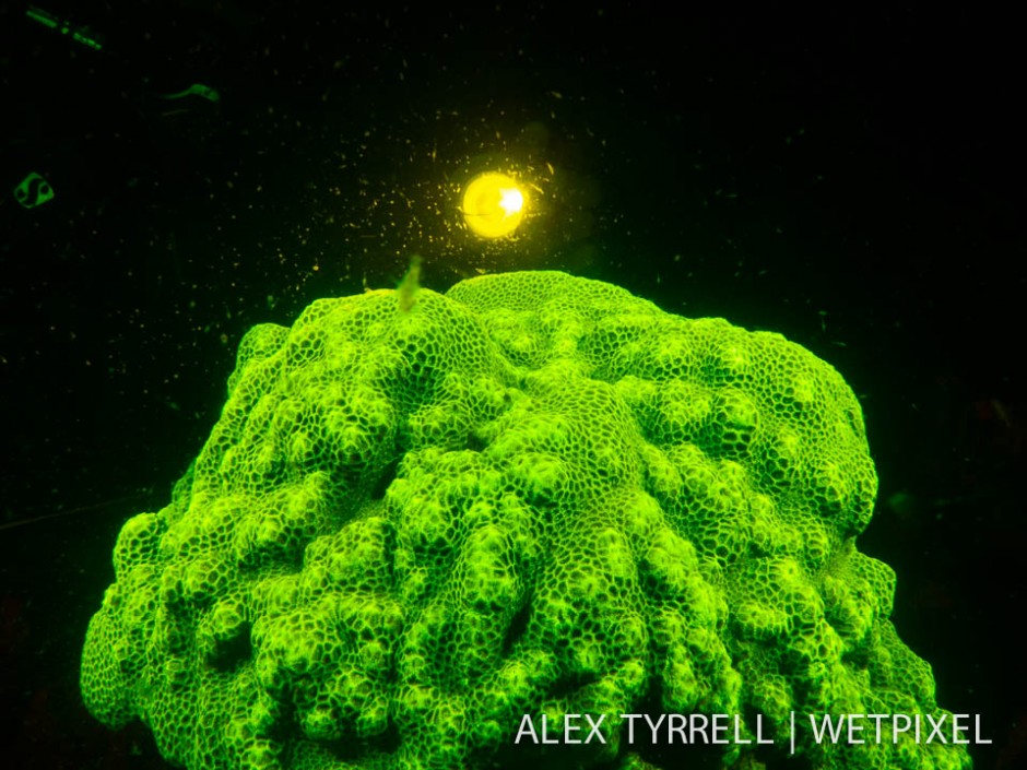 Coral  dive light (*Goniastrea* sp.)