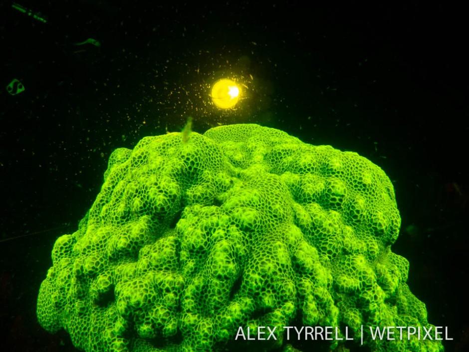 Coral  dive light (*Goniastrea* sp.)