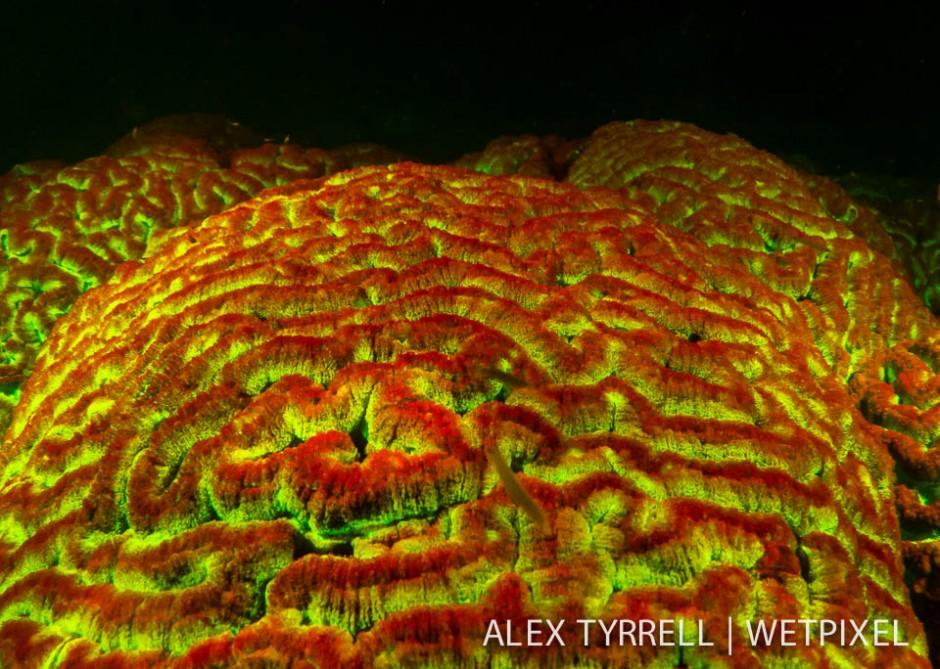Fluorescent brain coral (*symphillia* sp.)
