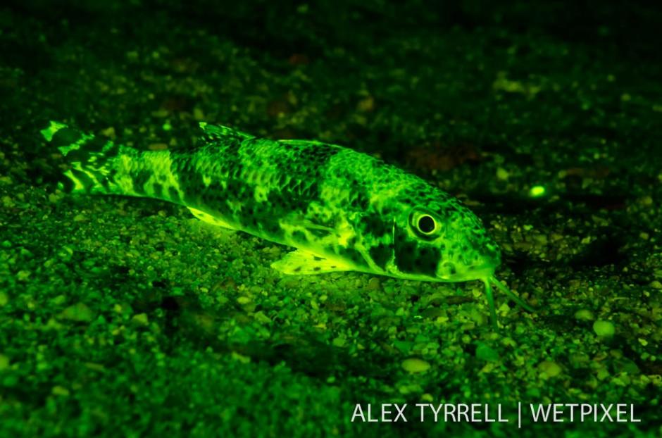 Freckled goatfish (*Upeneus tragula*).