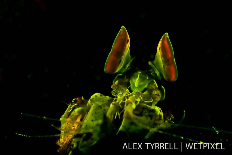Golden mantis shrimp (*Lysiosquilloides mapia*).