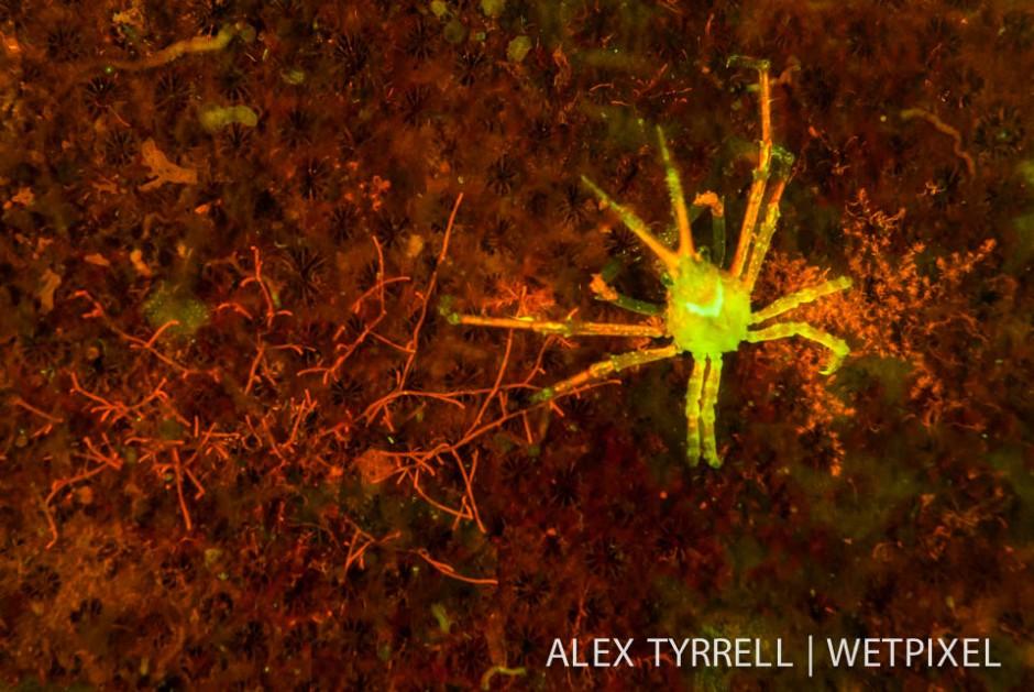 Hydroid decorator crab (*Hyastenus bispinosus*).