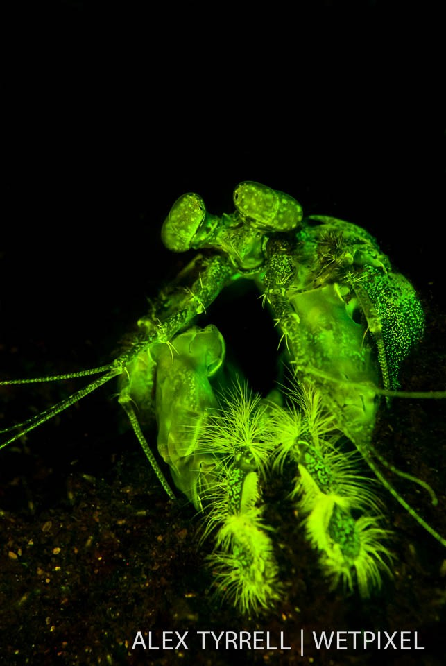 Lisas mantis shrimp (*Lysiosquillina lisa*). (2).