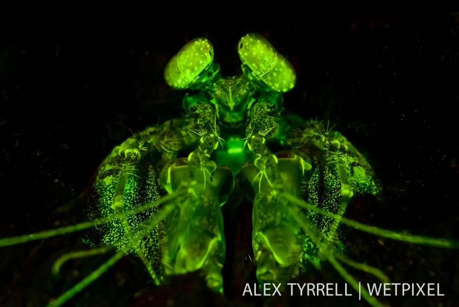 Lisas mantis shrimp (*Lysiosquillina lisa*). (1).