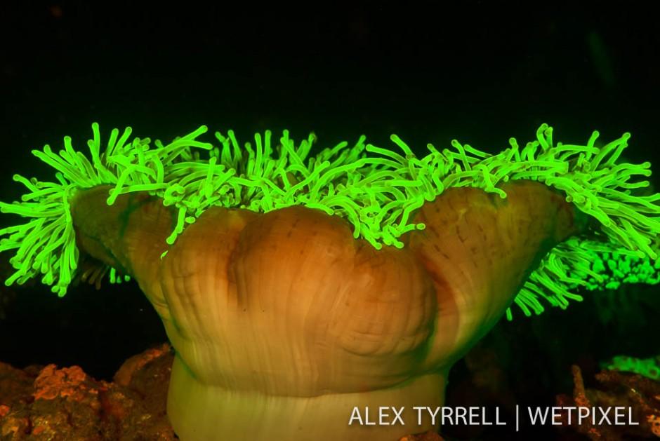 Magnificent sea anemone (*Heteractis magnifica*).