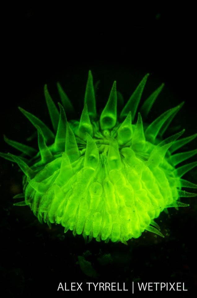 Mushroom coral (*Fungia concinna*).