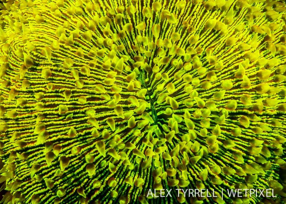 Mushroom coral (*Fungia fralinae*).