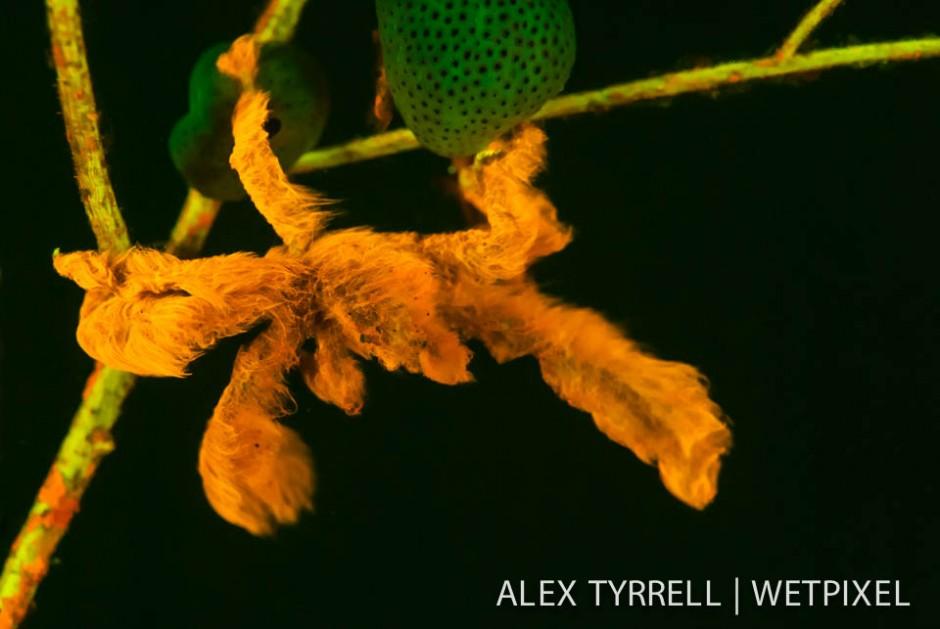 Orangutan crab (*Achaeus japonicus*).