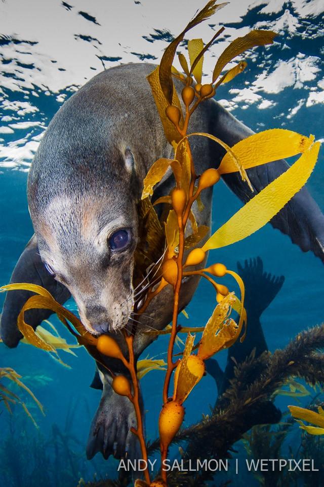 California sea lion (*Zalophus californianus*)