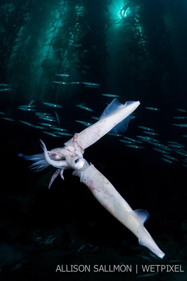 Catalina squid run
