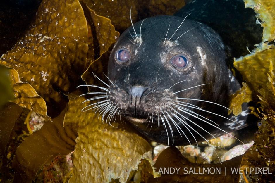 Harbor seal (*Phoca vitulina*)