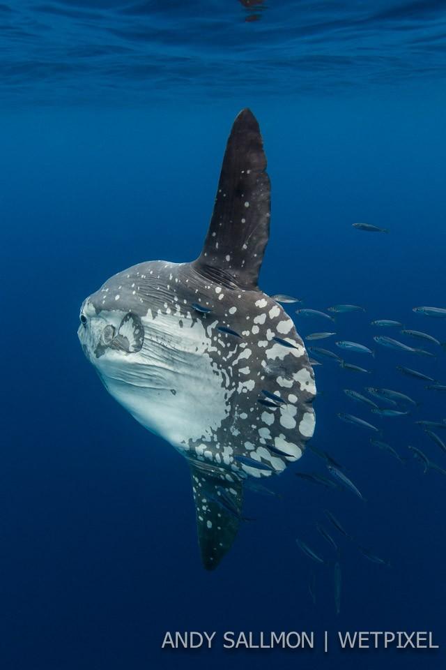 Mola mola (*Mola mola*)