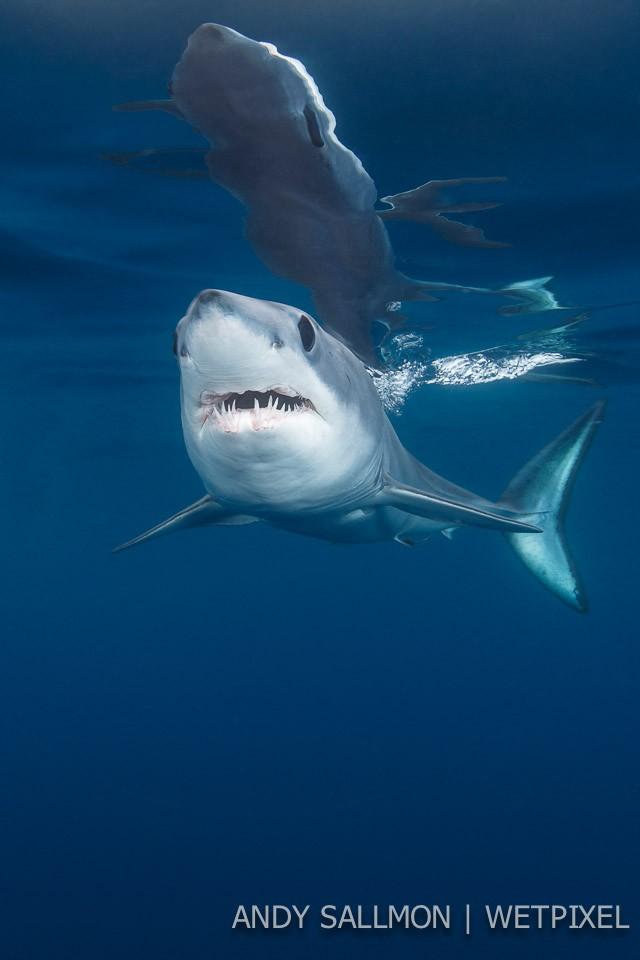 Mako shark (*Isurus oxyrinchus*)