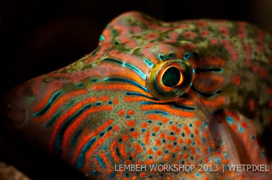 Juvenile starry pufferfish (*Arothron stellatus*) by Paul Pansano.