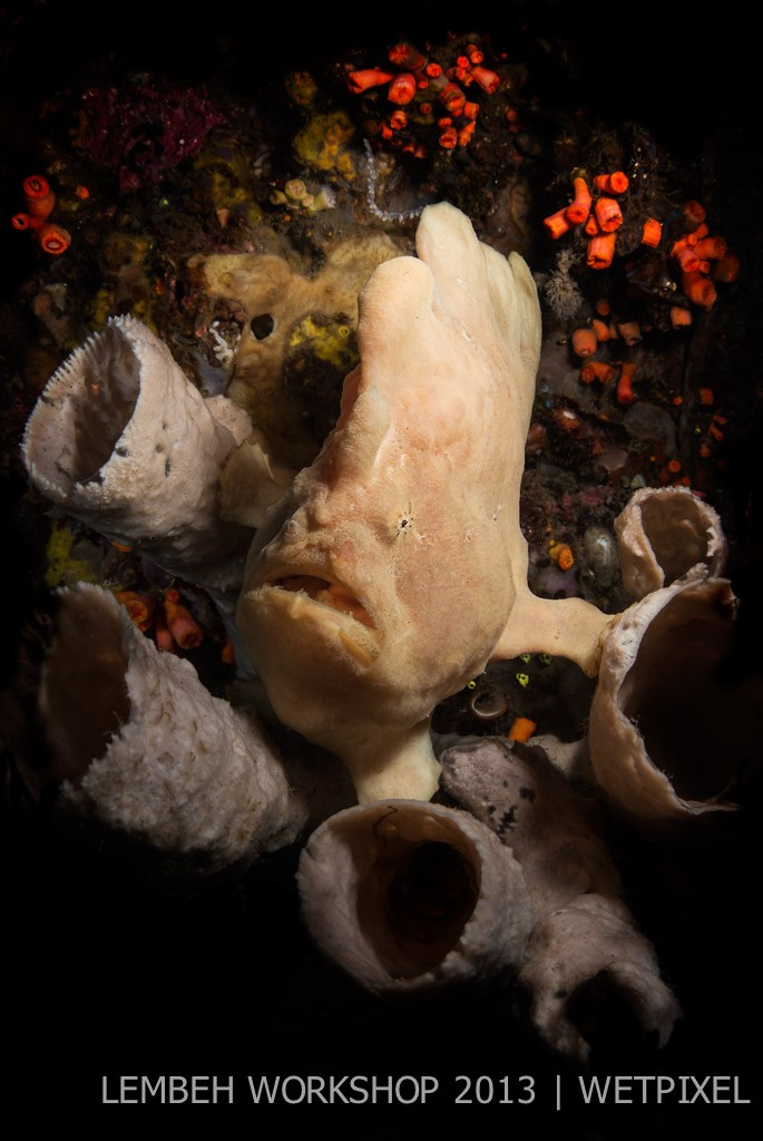 Giant frogfish (*Antennarius commerson*) by Tim Priest.