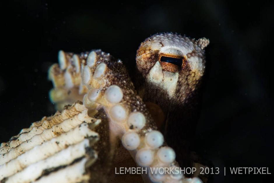 Coconut octopus (*Amphioctopus marginatus*) by Adam Hanlon.