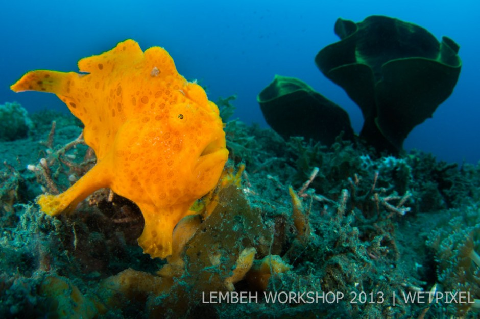 Painted frogfish (*Antennarius pictus*) by Alex Mustard.