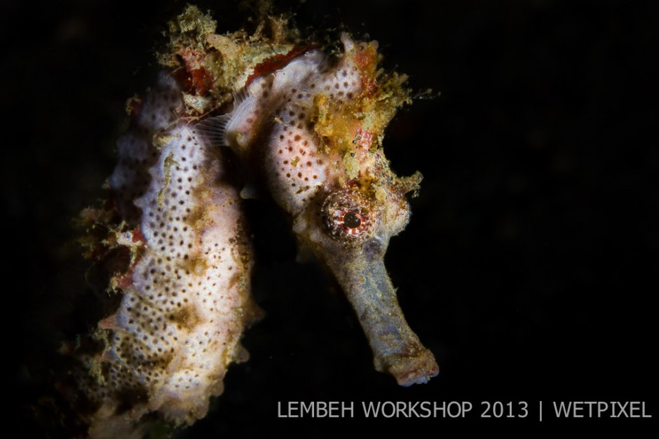 Common seahorse (*Hippocampus taeniopterus*) by Andy Deitsch