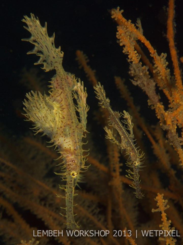 Ornate ghost pipefish (*Solenostomus paradoxus*) by Bruno Buzatto.