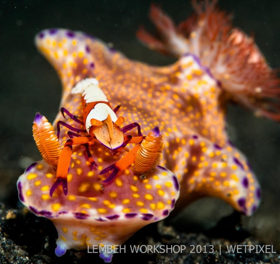 Emperor shrimp (*Periclimenes imperator*) on nudibranch by Chris Bernhardt.