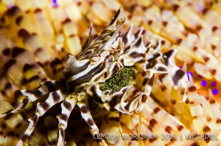 Zebra crab (*Zebrida adamsii*) by David Gordon.