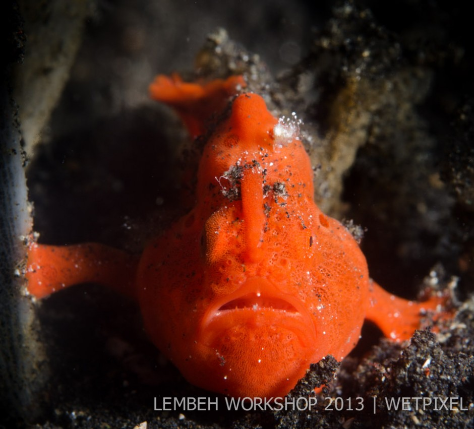 Painted frogfish (*Antennarius pictus*) by Gill McDonald