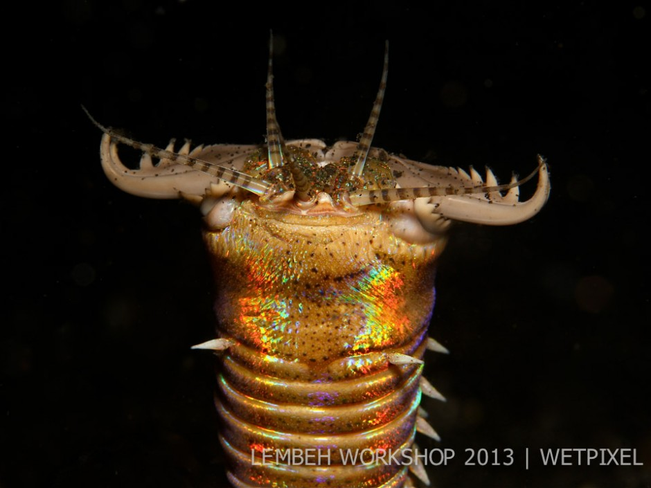 Bobbit worm (*Eunice aphroditois*) by Guy Carter.