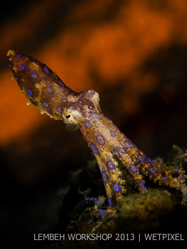Blue ringed octopus (*Hapalochlaena maculosa*) by Mieke van der Kruijs.