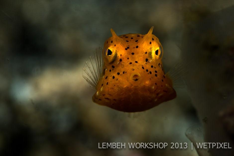 Juvenile yellow boxfish  (*Ostracion cubicus*) by Mikael Thulin.
