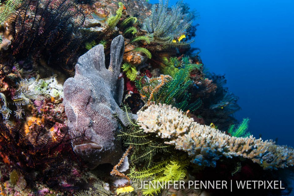 A giant frogfish (*Antennarius commerson* uses a crinoid-mustache disguise to blend into the bommie