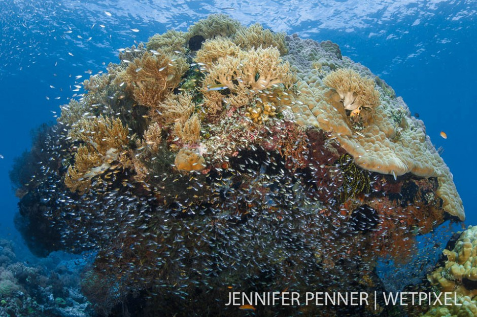 A school of glassfish make this bommie their refuge.