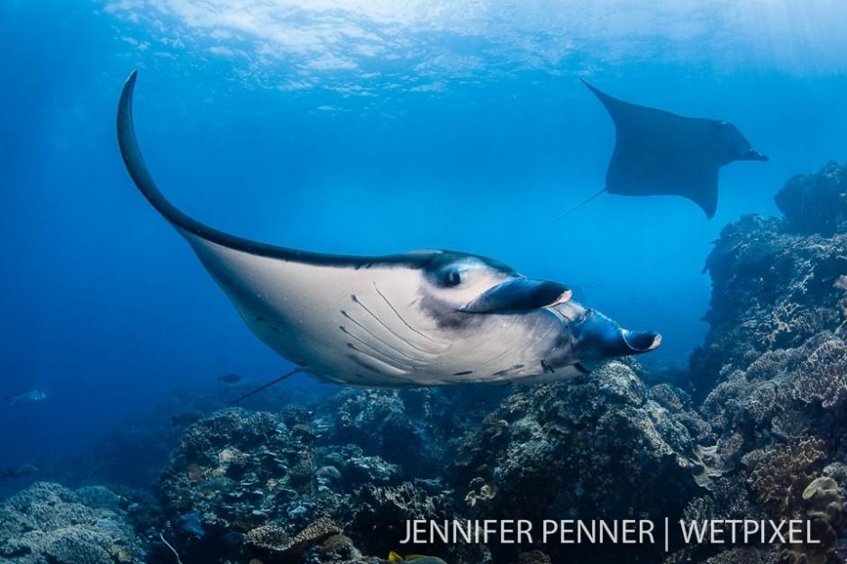 Both reef mantas (*Manta alfredi*)  and pelagic mantas (*M. birostris*) did their dance at Manta Alley