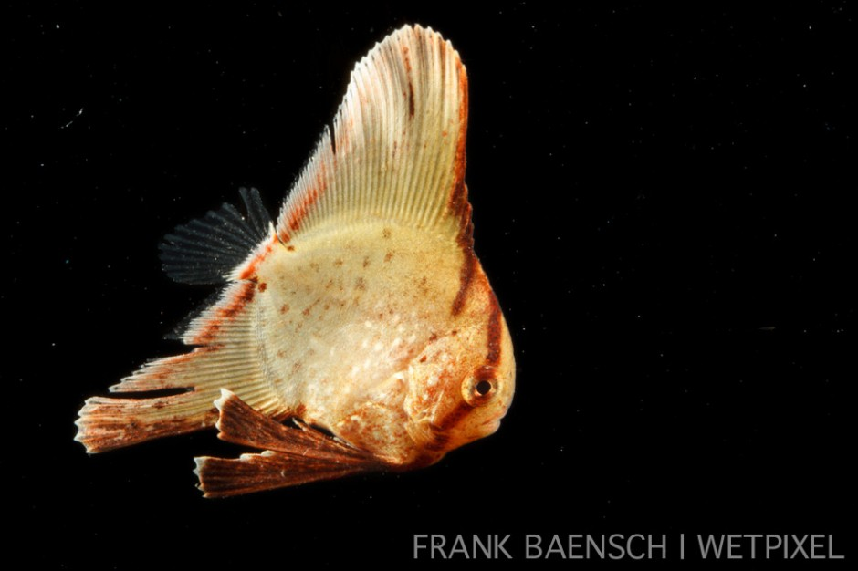 Batfish juvenile. 14.8 mm TL. This little beauty was found hiding in seaweed. Only one individual encountered.