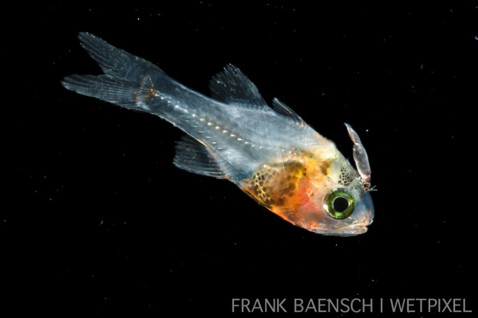 Cardinalfish larva with parasitic isopod. 16.4 mm TL. It's amazing how early fish are subjected to parasites!