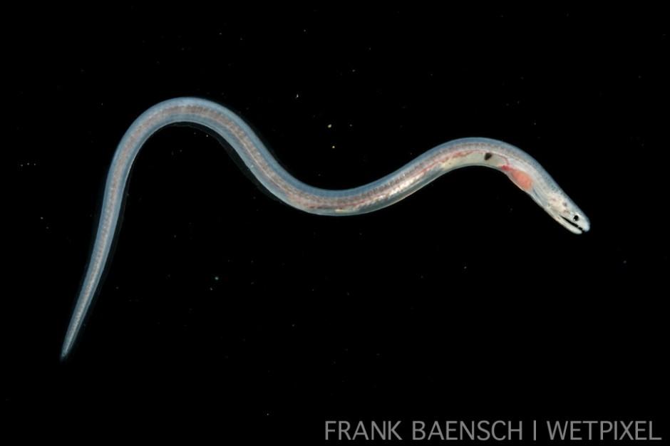 Eel post larva at 44 mm TL. Probably a garden eel. Rare.