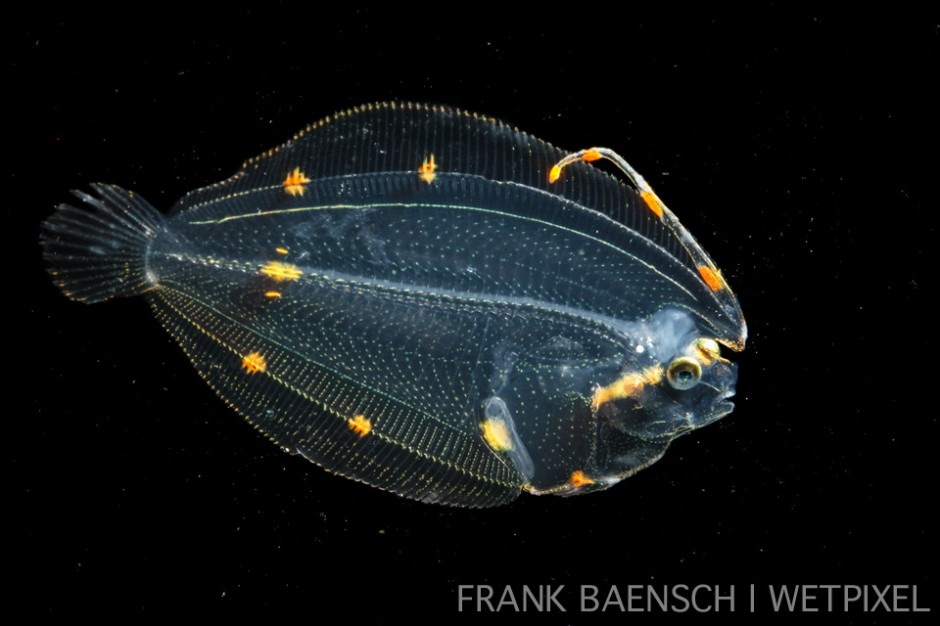 Lefteye flounder post larva. 34.2 mm TL. The elongated dorsal fin ray is a specialization to pelagic life and is retained in adults of some species.