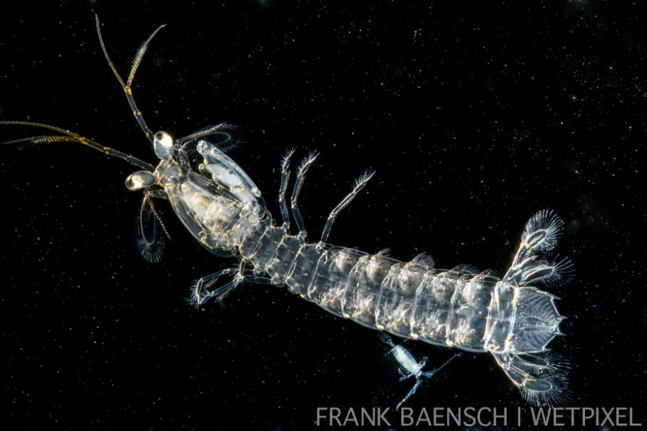 Mantis shrimp larva. 65.0 mm TL. The little critter at the bottom is an adult copepod.