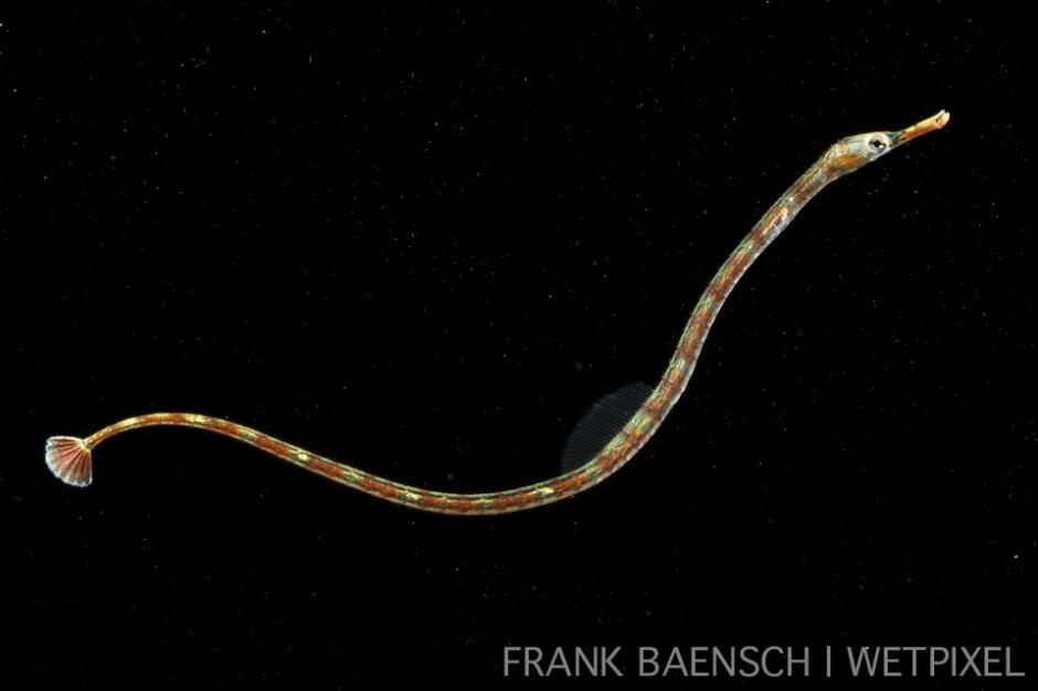 Pipefish juvenile. 52.4 mm TL. Rare.