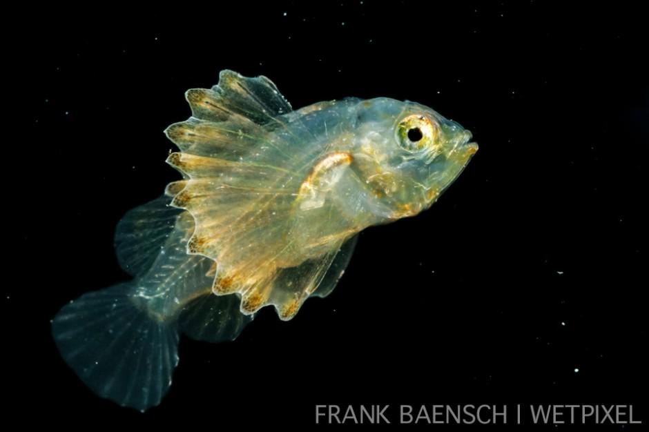 Scorpionfish - 16.3 mm TL