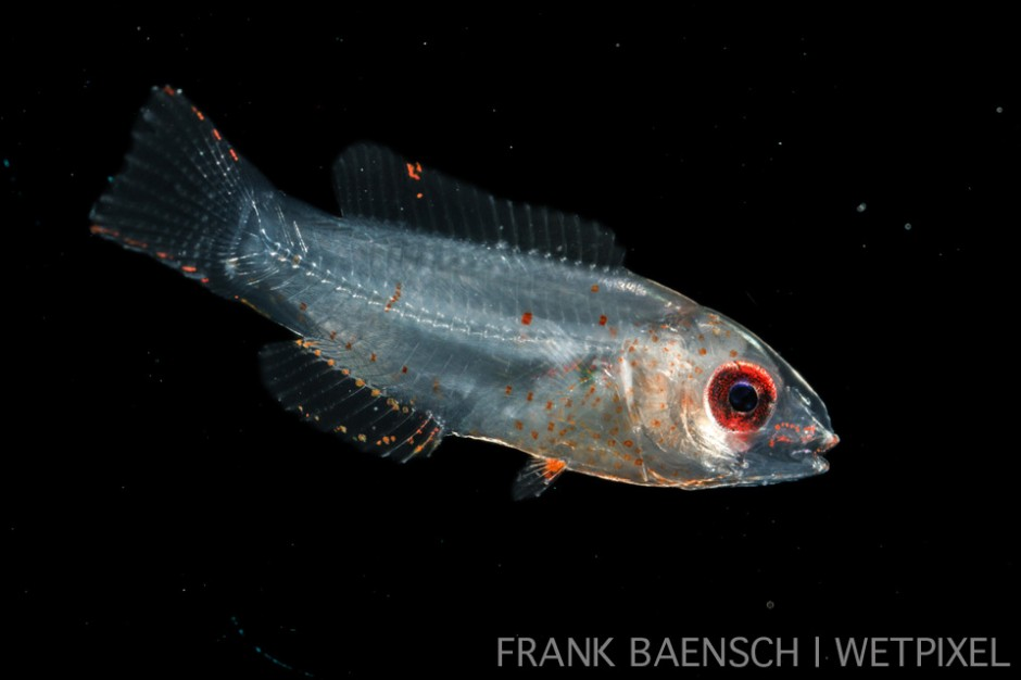 Wrasse larva. 11.8 mm TL. Wrasse larvae typically burry in sand when they settle.
