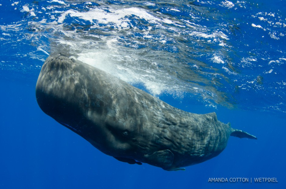 Sperm whale (*Physeter macrocephalus*) images captured in the waters off Dominica in the Caribbean Sea. All images taken under permit.