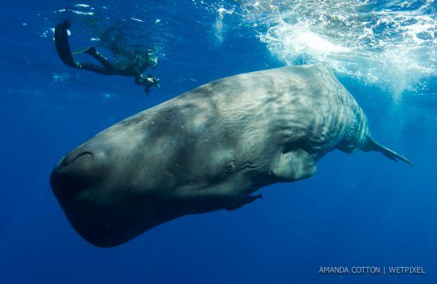 Cotton sperm whale07