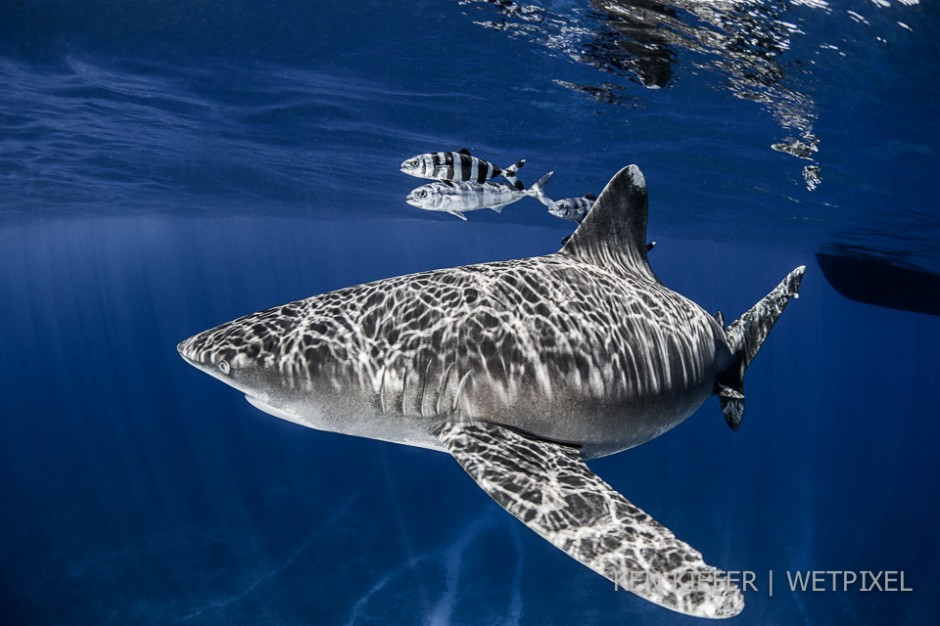 Oceanic whitetip in the midst of sunrays over a mid ocean seamount.