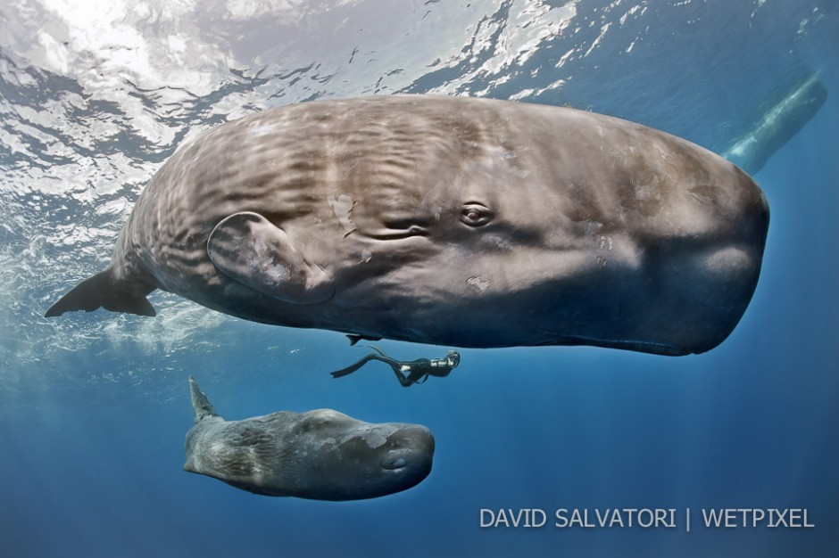 Dominica - mother and calf.