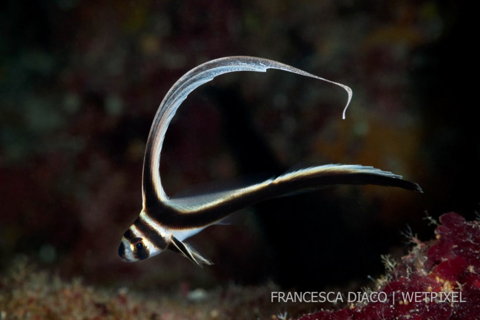 The Juvenile Spotted Drum's (*Equetus punctatus*) long dorsal fin sways like a ribbon as it swims around its territory.