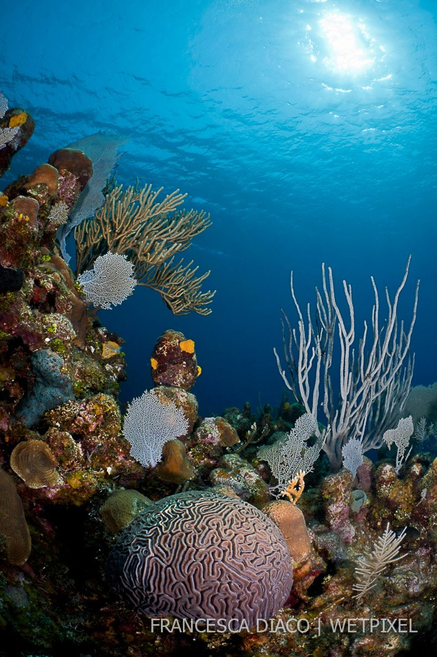 This reef scene shows the lovely diversity of coral found on the north side of Roatan.